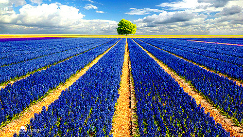 Hyacinth Field, The Netherlands