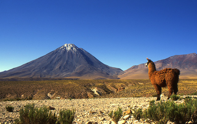 Llama looking at Licancabur Volcano, Bolivia