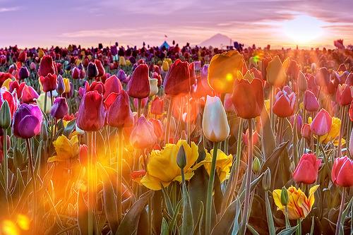 Tulip Sunset, Woodburn, Oregon